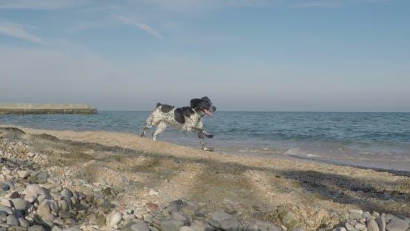 Thumbnail for Dog Running Along The Seashore