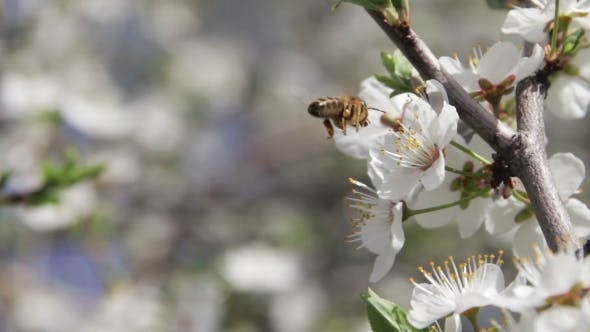 Thumbnail for Apricot Flower Blooming And Bee In Spring