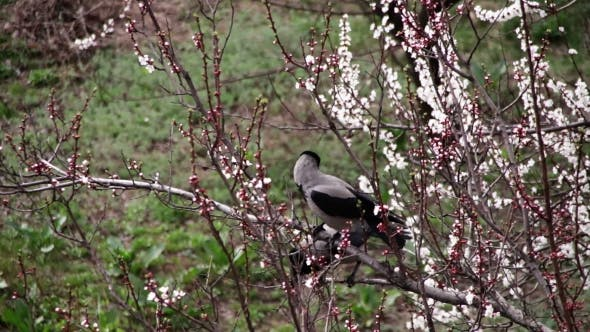 Thumbnail for Two Crows Are Sitting On a Blossoming Apricot And Eat Blooming Flower