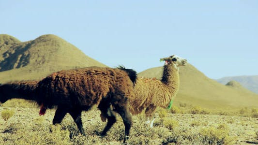 Thumbnail for Cute Llamas of the Altiplano, Argentina, South America.