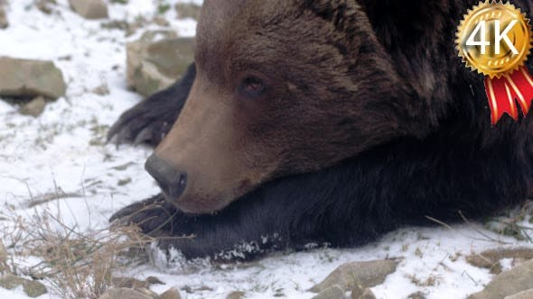 Brown Bear in Forest Liking Snow