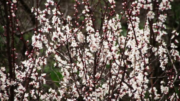 Thumbnail for Apricot Flower Blooming In Spring