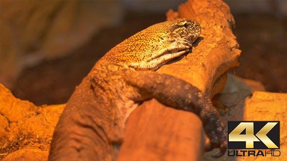 Thumbnail for Komodo Dragon Reptile