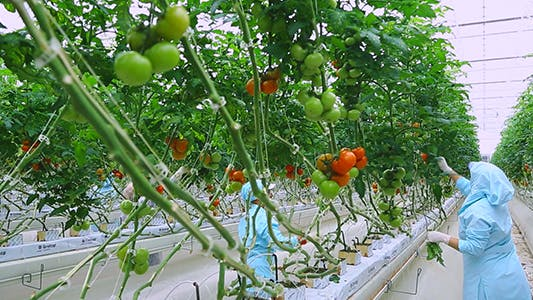 Thumbnail for Greenhouse Tomatoes 2
