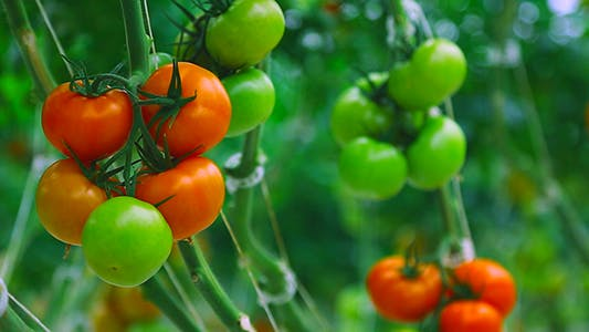Cover Image for Tomatoes
