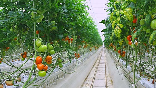Cover Image for Greenhouse Tomatoes 3