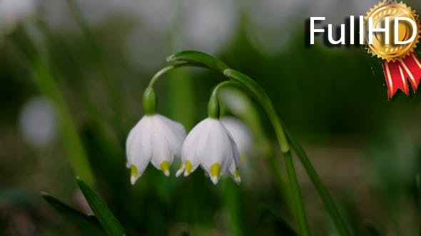 Thumbnail for Bloomings Snowdrops in Spring