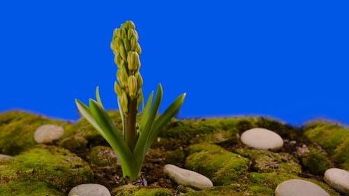 Hyacinth Blossom Chroma Key