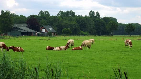 Thumbnail for A Herd of Cows Grazes in a Pasture, Quaint Buildings, a Forest and the Cloudy Blue Sky