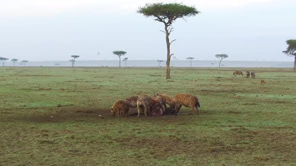 Thumbnail for Clan of Hyenas Eating Carrion in Savanna at Africa
