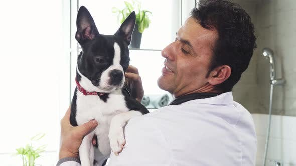 Boston Terrier Canine in the Hands of a Male Vet