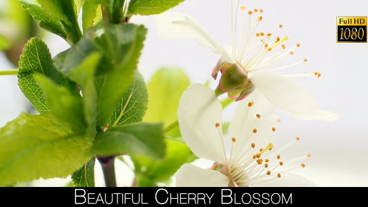 Cover Image for Beautiful Cherry Blossom 15