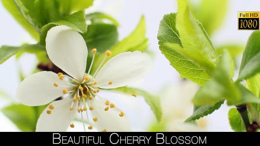 Thumbnail for Beautiful Cherry Blossom 16