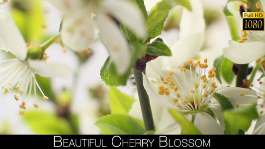 Thumbnail for Beautiful Cherry Blossom 17