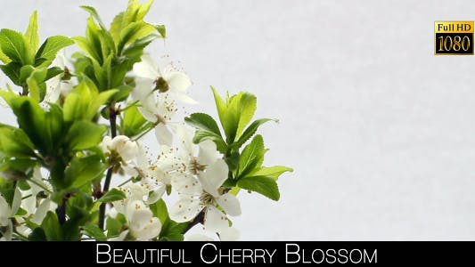 Thumbnail for Beautiful Cherry Blossom 18