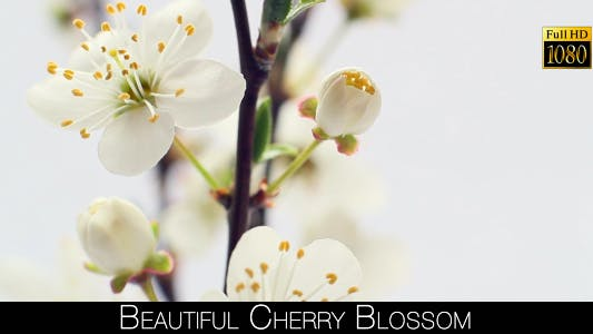 Thumbnail for Beautiful Cherry Blossom 20