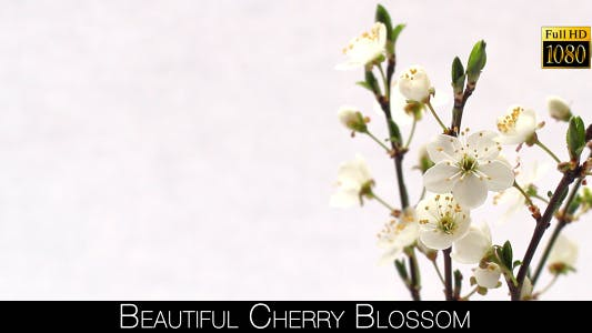 Cover Image for Beautiful Cherry Blossom 22