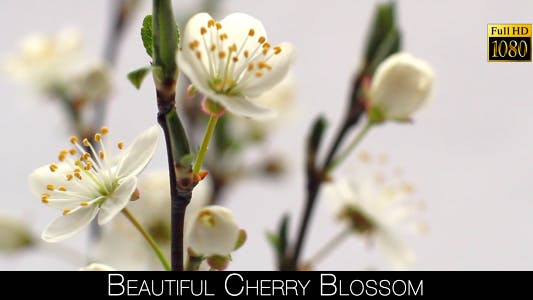 Cover Image for Beautiful Cherry Blossom 23