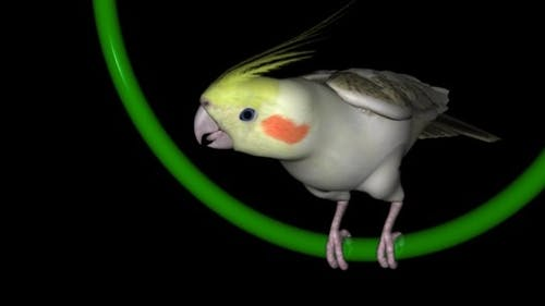Nymphensittiche Papagei - Schleife