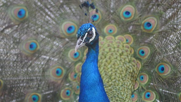 Thumbnail for Portrait of a Peacock