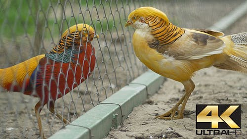 Golden Chinesse Pheasant