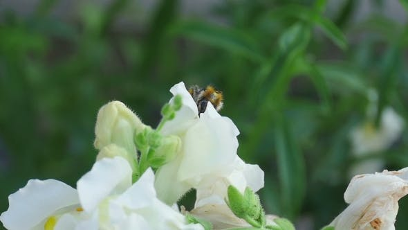 Thumbnail for Bumblebee On a Flower Snapdragon