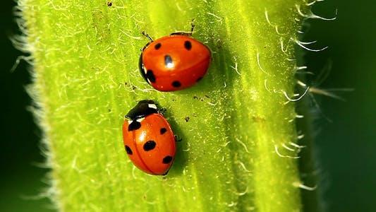 Thumbnail for Ladybugs