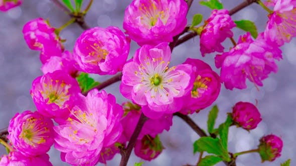 Thumbnail for Pink Cherry Tree Flowers.