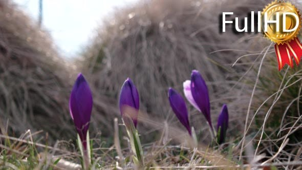 Thumbnail for Spring Purple Crocus in Grass With Morning Light