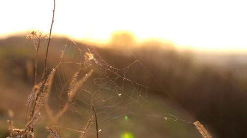 Grass with Cobwebs at Sunset
