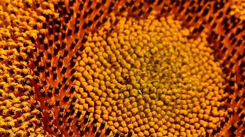 Sunflower - Macro