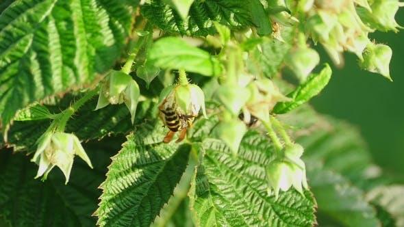 Cover Image for Common Wasp ( Vespula Vulgaris)