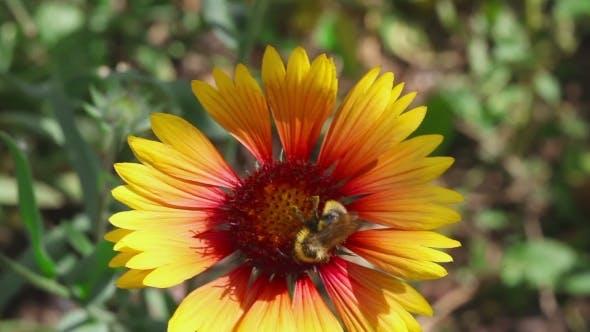 Thumbnail for Bumblebee On a Flower Gaillardia