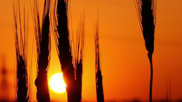 Thumbnail for Spikelets Of Wheat Against The Background Of The Setting Sun