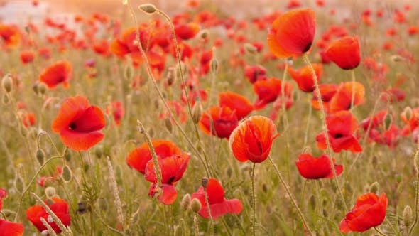 Thumbnail for Beautiful Red Poppies In The Field