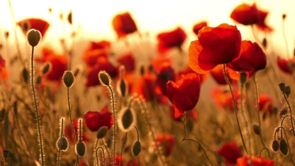 Cover Image for Red Poppies In The Field