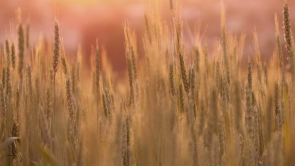 Thumbnail for Spikelets Of Wheat At Sunset