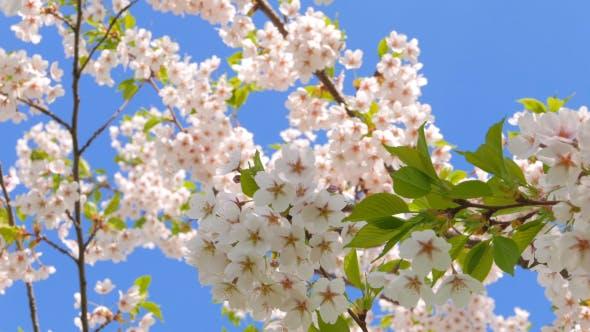 Thumbnail for Flowers of Japanese Sakura Against the Blue Sky
