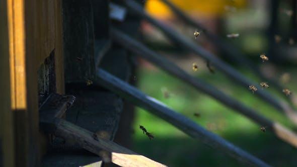 Thumbnail for Honey Bees 3