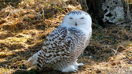 Thumbnail for Owl