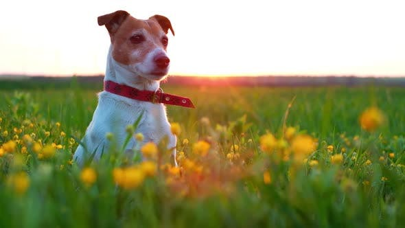 Thumbnail for Jack Russel Terrier on Flowers Meadow
