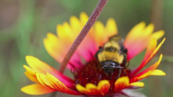 Cover Image for Bumblebee On a Flower Gaillardia