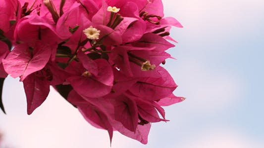 Thumbnail for Bougainvillea In The Wind