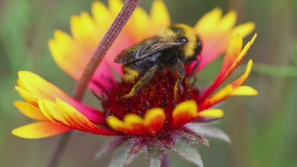 Thumbnail for Bumblebees On a Flower Gaillardia