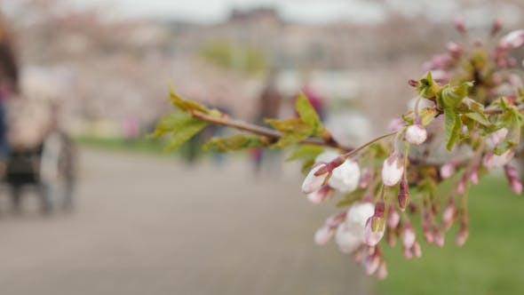 Thumbnail for Sakura Blossoms Passers-by In The Background