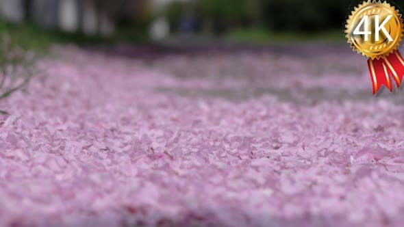 Thumbnail for Fallen Cherry Petals Winds Blow From the Ground