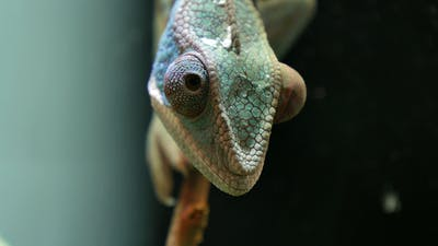 Chameleon Camouflage Reptile on a Branch