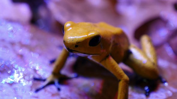 Thumbnail for Golden Poison Arrow Frog