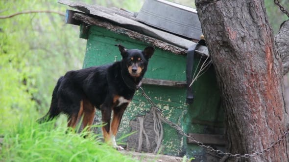 Cover Image for Dog On a Chain Near Doghouse