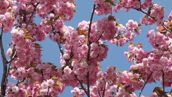 Thumbnail for Flowering Cherry In Spring On a Sunny Day